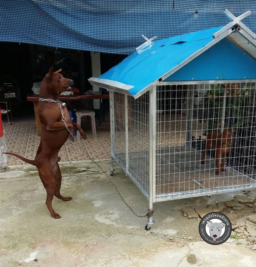 โพธิ์ทองยืนEn 2000, le capitaine de police PhansakKantisorn constata que l'élevage de chiens en Thaïlande n'était pas encore conforme aux normes comme prévu : par exemple, la saillie n'était pas encore systématisée, les éleveurs connaissaient encore trop peu de la nutrition, le système semblait encore ouvert, sans aucun contrôle sur la maladie, etc. Alors capitaine de police Phansak établit une ferme d'élevage de chiens au district de Mae Sai en province de Chiang Rai, Thaïlande