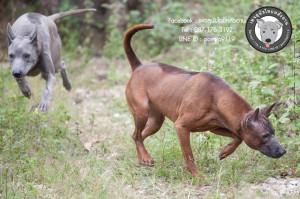 สวาด,สีแดงเข้ม,สีกลีบบัว,สีโกโก้,ลิ้นด่าง,สุนัขไทยหลังอานเห่า,อาหารสุนัข,ยาสุนัข,วุคซีนสุนัข,อายุสุนัข,ส่งมอบสุนัขทางเครื่องบิน,ส่งสุนัขไปอิสาน,ส่งสุนัขกรุงเทพ,มุมขาสุนัข,เส้นหลังสุนัข,ขาหลังสุนัข,การโพสต์ท่าสุนัข,
