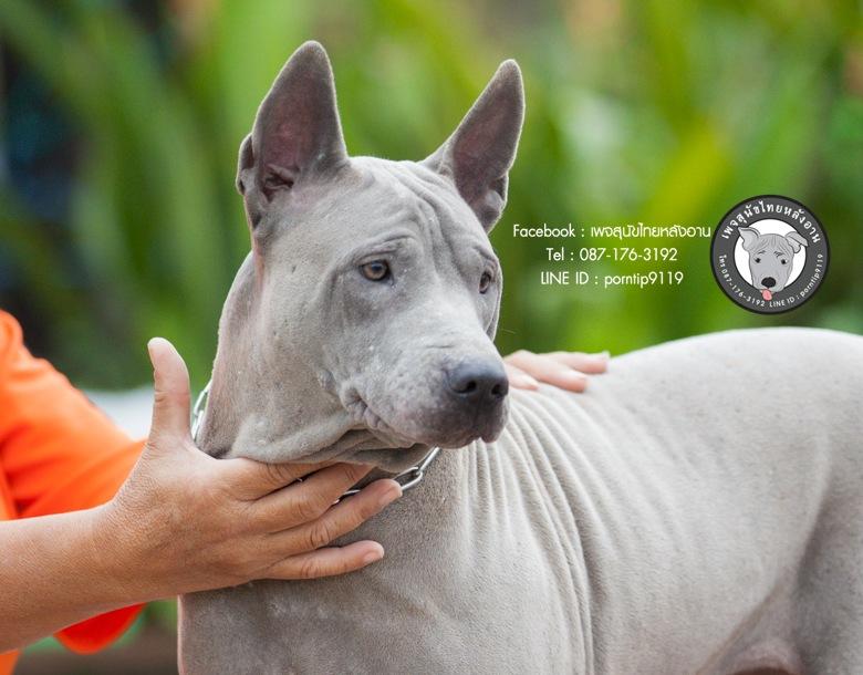 วาสนา  สุนัขไทยหลังอาน หมาหลังอาน๑๒