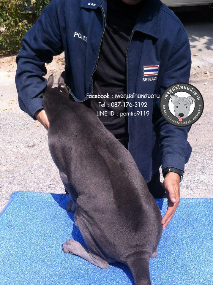 สุนัขไทยหลังอานเกรดสวยสายเลือดตราดแท้ โทร 0871763192,พรทิพย์เชียงรายฟาร์ม, สายเอกลักษณ์,แนะนำสุนัขไทยหลังอาน,ไทยหลังอานมีใบเพ็ดดีกรี,ซื้อหมา,ขายหมา,หมาไทย,หมาไทยหลังอาน,หมาไทยตราด,หมาหลังอานสวย,นิสัยหมาหลังอาน  ,ราคาหมาหลังอาน,  สุนัขไทยหลังอาน  ,   ขายสุนัขไทยหลังอาน  ,  ลูกสุนัขไทยหลังอาน ,  จำหน่ายสุนัขไทยหลังอาน ,  ไทยหลังอานราคา   , ไทยหลังอานนิสัย  ,    หมาไทยหลังอานแท้  ,   หมาหลังอานแท้  ,    หลังอานป้าสมคิด  ,  คอกสุนัขไทยหลังอาน   ,  ฟาร์มสุนัขไทยหลังอาน ,  หลังอานพรทิพย์ ,พรทิพย์ไทยหลังอาน,  สุนัขไทยหลังอานเชียงราย,เชียงรายไทยหลังอาน,ภาคเหนือไทยหลังอาน,ไทยหลังอานภาคเหนือ,แม่สายไทยหลังอาน  ,หลังอานแม่สาย,  สุนัขไทยหลังอานสีสวาด,สุนัขไทยหลังอานสีแดงเม็ดมะขาม,สีแดงเม็ดมะขาม,สีกลีบบัว,ขนสั้น,ขนกำมะหยี่,อานโบว์ลิ่ง,อานใบโพธิ์,อานเทพพนม,อานเข็ม,อานพิณ,มุมขาสุนัข,เส้นหลัง,ลิ้นดำ,เล็บดำ,ตาดำ,ฟันสุนัข,ขวัญที่อาน,สุนัขเฝ้าบ้าน,สุนัขขนาดกลาง,ฝึกสุนัข,ไทยหลังอานสายตราด,ไทยหลังอานจันทบุรี,ไทยหลังอานไทยแชมป์,ประกวดสุนัขไทยหลังอาน,หาซื้อสุนัขไทยหลังอาน,สุนัขไทยหลังอานเชียงใหม่,เชียงใหม่ขายสุนัขไทยหลังอาน,อำเภอเมืองเชียงรายขายสุนัข,สุนัขไทยหลังอานสายเลือดแชมป์,ไทยหลังอานพ่อพันธุ์,ไทยหลังอานแม่พันธุ์,เลี้ยงเล่น,เฝ้าสวน,สุนัขฉลาด,