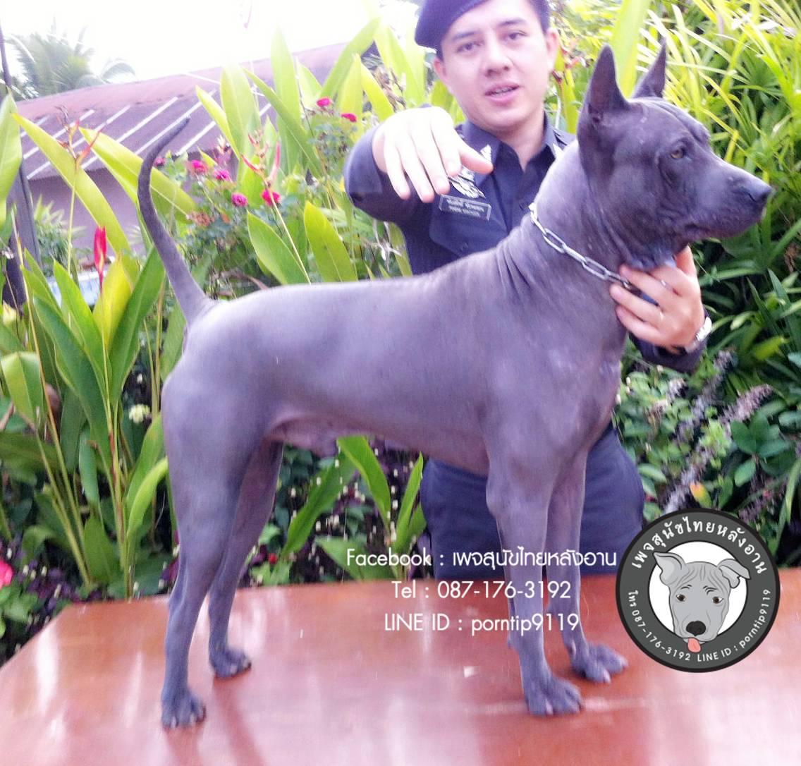 สุนัขไทยหลังอาน ขายสุนัขไทยหลังอาน   ลูกสุนัขไทยหลังอาน พ่อพันธุ์แม่พันธุ์IMG_4794_webcamera360_20150123164750