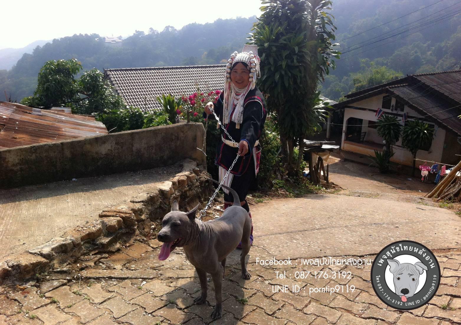 สุนัขไทยหลังอาน ขายสุนัขไทยหลังอาน   ลูกสุนัขไทยหลังอาน พ่อพันธุ์แม่พันธุ์IMG_4813_webcamera360_20150123165001
