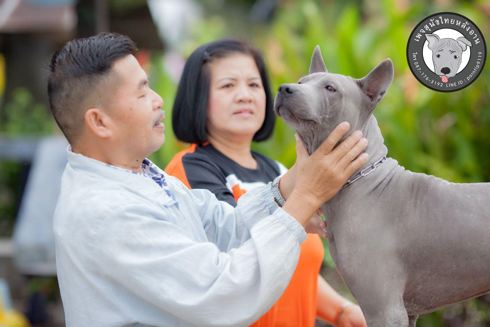 สุนัขไทยหลังอาน ขายสุนัขไทยหลังอาน   ลูกสุนัขไทยหลังอาน พ่อพันธุ์แม่พันธุ์Print-0333_webcamera360_20141224232641