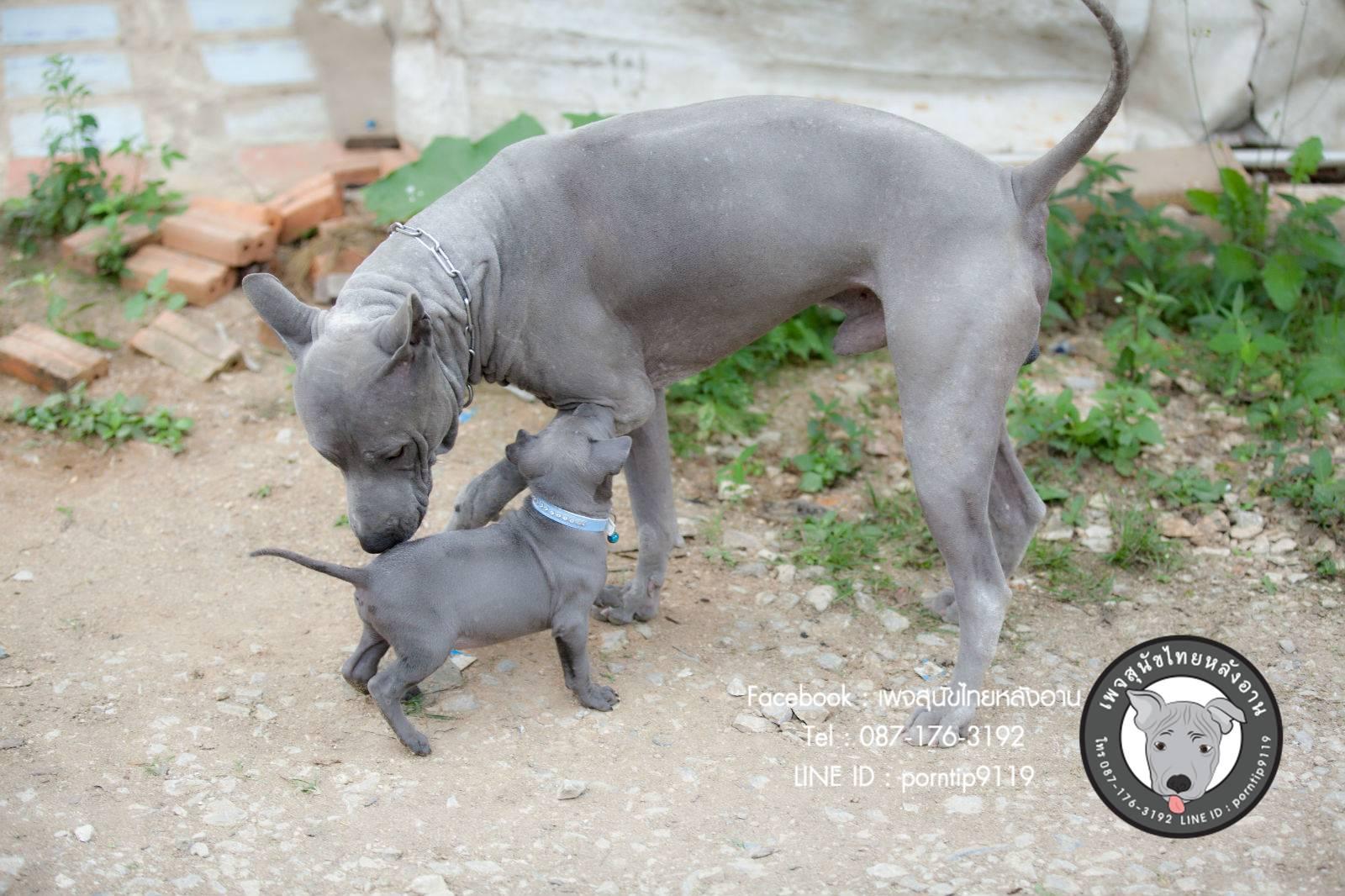 สุนัขไทยหลังอาน ขายสุนัขไทยหลังอาน   ลูกสุนัขไทยหลังอาน พ่อพันธุ์แม่พันธุ์Print-0335_webcamera360_20141224232723