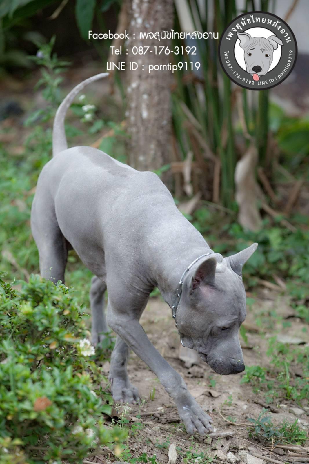 สุนัขไทยหลังอาน ขายสุนัขไทยหลังอาน   ลูกสุนัขไทยหลังอาน พ่อพันธุ์แม่พันธุ์Print-0346_webcamera360_20141224232927