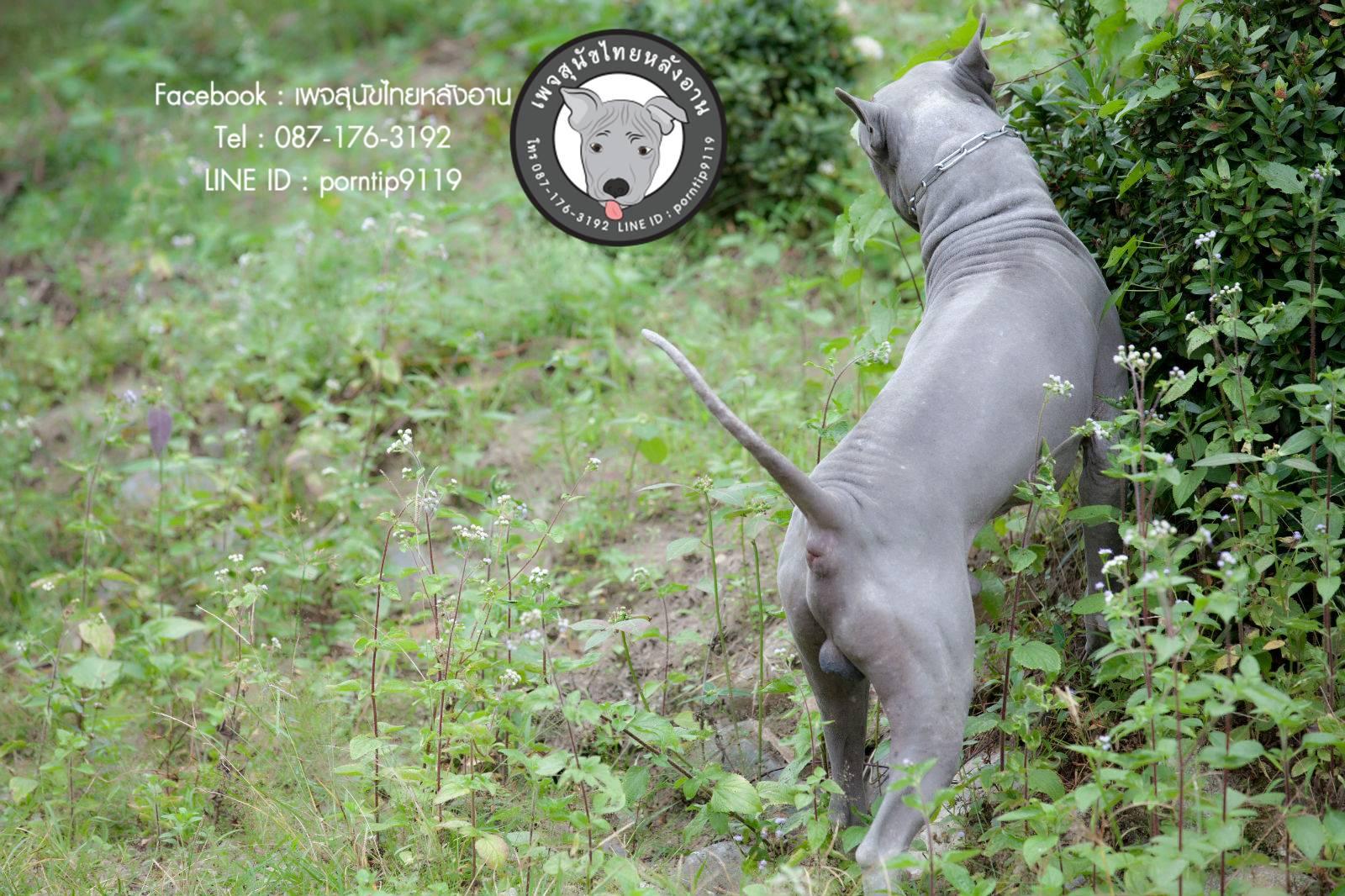 สุนัขไทยหลังอาน ขายสุนัขไทยหลังอาน   ลูกสุนัขไทยหลังอาน พ่อพันธุ์แม่พันธุ์Print-0350_webcamera360_20141224232958