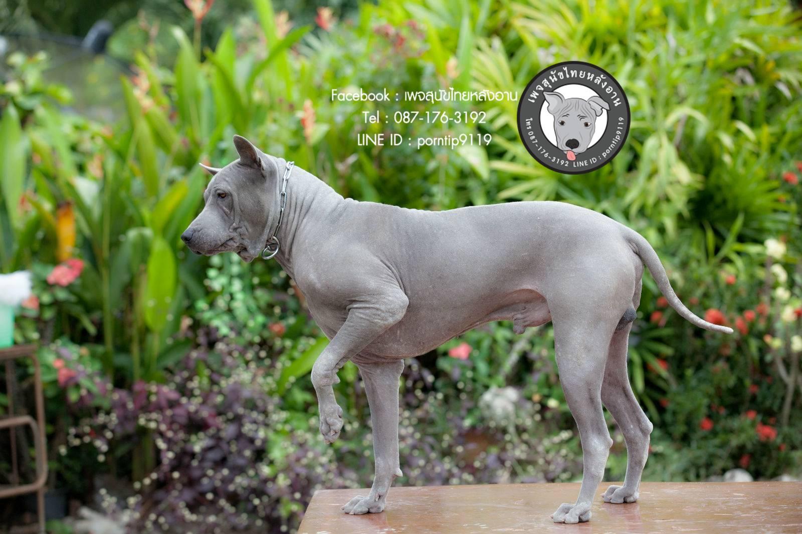 สุนัขไทยหลังอาน ขายสุนัขไทยหลังอาน   ลูกสุนัขไทยหลังอาน พ่อพันธุ์แม่พันธุ์Print-0356_webcamera360_20141224233121