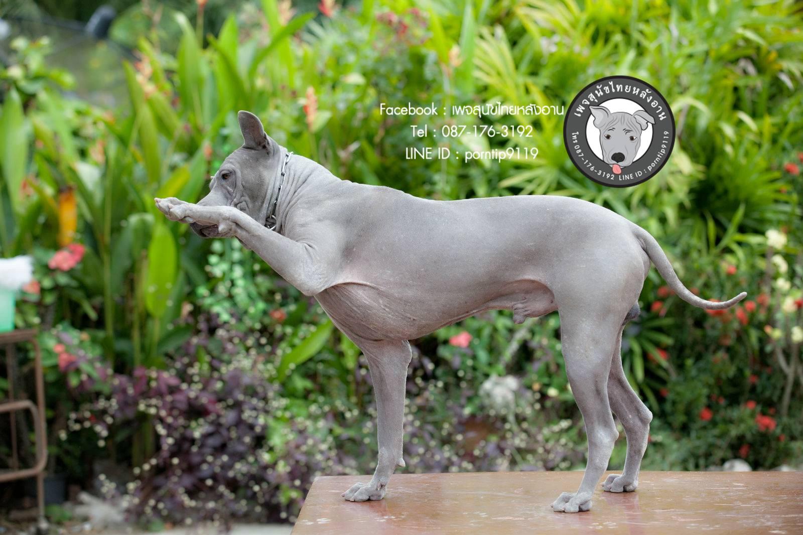สุนัขไทยหลังอาน ขายสุนัขไทยหลังอาน   ลูกสุนัขไทยหลังอาน พ่อพันธุ์แม่พันธุ์Print-0357_webcamera360_20141224233157