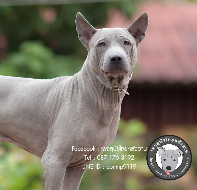 สุนัขไทยหลังอาน ขายสุนัขไทยหลังอาน   ลูกสุนัขไทยหลังอาน พ่อพันธุ์แม่พันธุ์Print-0363_webcamera360_20141224233231