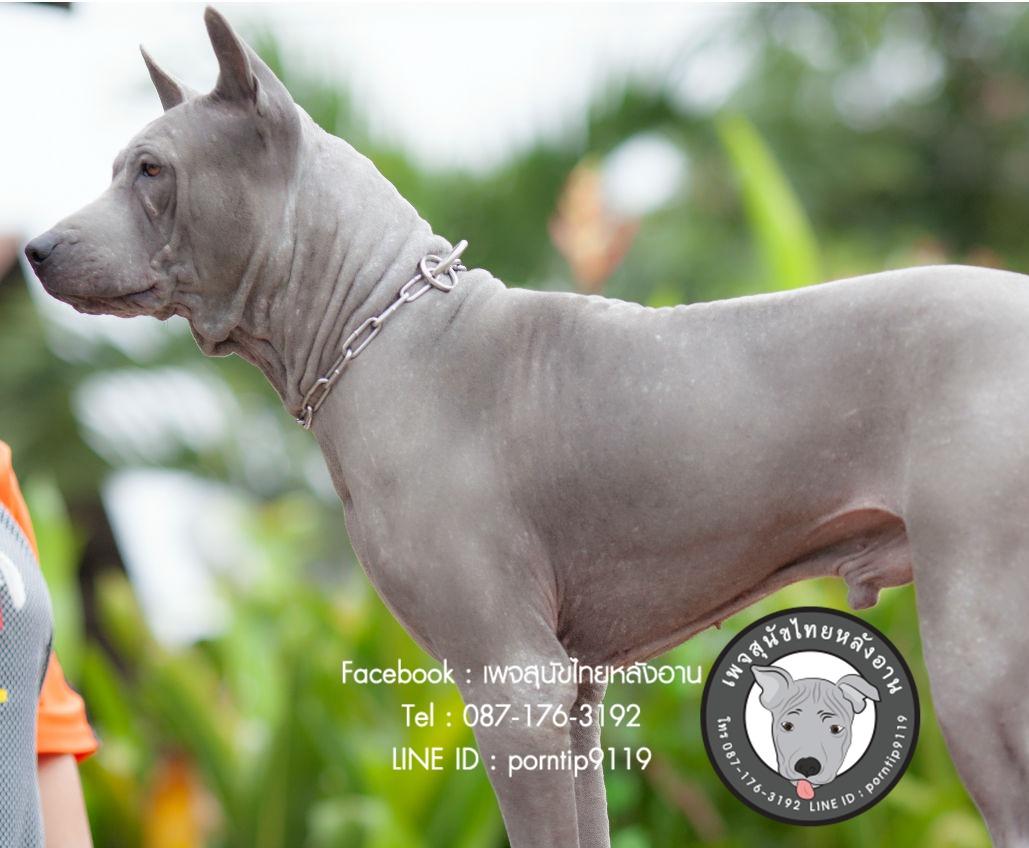 สุนัขไทยหลังอาน ขายสุนัขไทยหลังอาน   ลูกสุนัขไทยหลังอาน พ่อพันธุ์แม่พันธุ์Print-0371_webcamera360_20141224131603