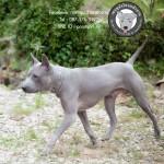 สุนัขไทยหลังอาน ขายสุนัขไทยหลังอาน   ลูกสุนัขไทยหลังอาน พ่อพันธุ์แม่พันธุ์net-0090eee