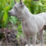 สุนัขไทยหลังอาน ขายสุนัขไทยหลังอาน   ลูกสุนัขไทยหลังอาน พ่อพันธุ์แม่พันธุ์net-0090eeeeeee