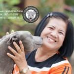สุนัขไทยหลังอาน ขายสุนัขไทยหลังอาน   ลูกสุนัขไทยหลังอาน พ่อพันธุ์แม่พันธุ์net-0247