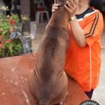 สุนัขไทยหลังอาน ขายสุนัขไทยหลังอาน   ลูกสุนัขไทยหลังอาน พ่อพันธุ์แม่พันธุ์net-0273