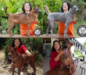 สุนัขไทยหลังอาน ขายสุนัขไทยหลังอาน   ลูกสุนัขไทยหลังอาน พ่อพันธุ์แม่พันธุ์net-0279-tile