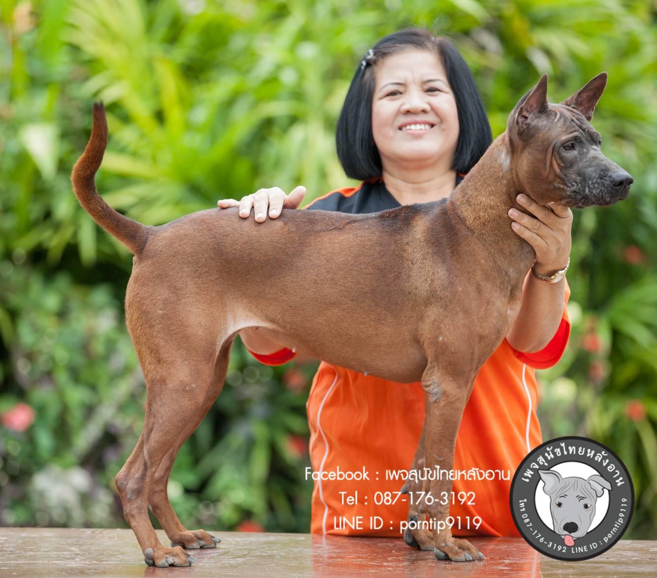 สุนัขไทยหลังอาน ขายสุนัขไทยหลังอาน ลูกสุนัขไทยหลังอาน พ่อพันธุ์แม่พันธุ์net-0305