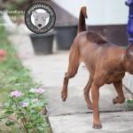 สุนัขไทยหลังอาน ขายสุนัขไทยหลังอาน   ลูกสุนัขไทยหลังอาน พ่อพันธุ์แม่พันธุ์net-0304