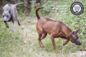 สุนัขไทยหลังอาน ขายสุนัขไทยหลังอาน   ลูกสุนัขไทยหลังอาน พ่อพันธุ์แม่พันธุ์net-0306