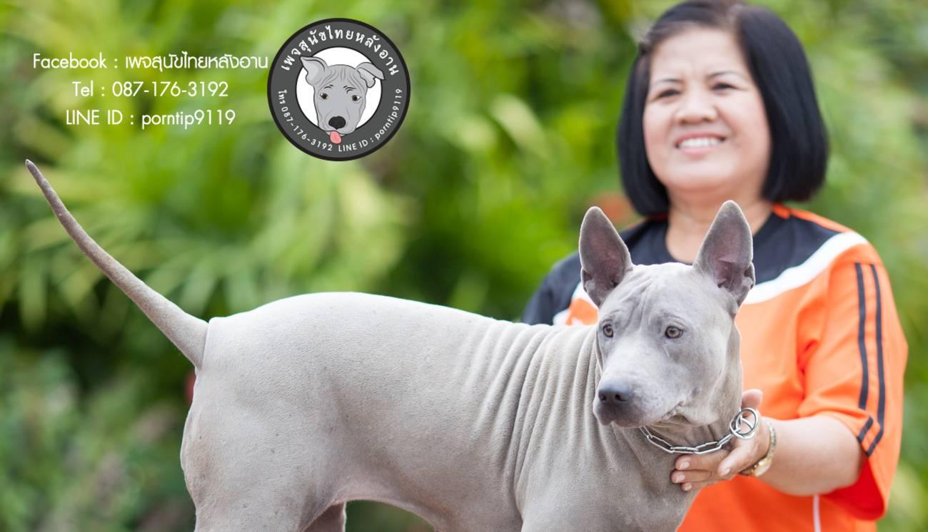 สุนัขไทยหลังอาน ขายสุนัขไทยหลังอาน   ลูกสุนัขไทยหลังอาน พ่อพันธุ์แม่พันธุ์net-0307