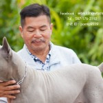 สุนัขไทยหลังอาน ขายสุนัขไทยหลังอาน   ลูกสุนัขไทยหลังอาน พ่อพันธุ์แม่พันธุ์net-0325