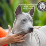 สุนัขไทยหลังอาน ขายสุนัขไทยหลังอาน   ลูกสุนัขไทยหลังอาน พ่อพันธุ์แม่พันธุ์net-0327