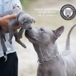 สุนัขไทยหลังอาน ขายสุนัขไทยหลังอาน   ลูกสุนัขไทยหลังอาน พ่อพันธุ์แม่พันธุ์net-0331