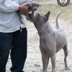 สุนัขไทยหลังอาน ขายสุนัขไทยหลังอาน   ลูกสุนัขไทยหลังอาน พ่อพันธุ์แม่พันธุ์net-0332