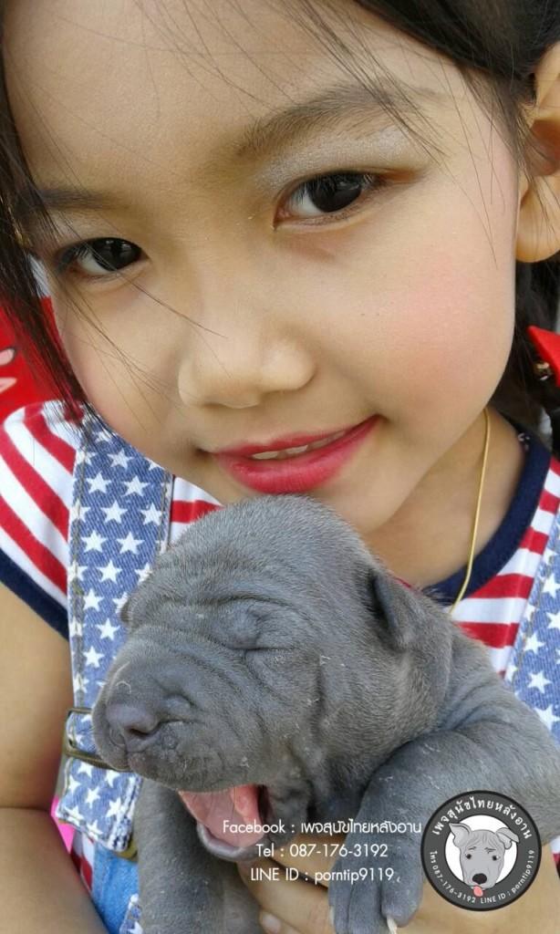 สุนัขไทยหลังอานเกรดสวยสายเลือดตราดแท้ โทร 0871763192,TRD,thairidgeback,thairidgebackdog, blue thairidgeback , red thairidgeback , ISABELLA , FEMALE , MALE, พรทิพย์เชียงรายฟาร์ม, สายเอกลักษณ์,แนะนำสุนัขไทยหลังอาน,ไทยหลังอานมีใบเพ็ดดีกรี,ซื้อหมา,ขายหมา,หมาไทย,หมาไทยหลังอาน,หมาไทยตราด,หมาหลังอานสวย,นิสัยหมาหลังอาน  ,ราคาหมาหลังอาน,  สุนัขไทยหลังอาน  ,   ขายสุนัขไทยหลังอาน  ,  ลูกสุนัขไทยหลังอาน ,  จำหน่ายสุนัขไทยหลังอาน ,  ไทยหลังอานราคา   , ไทยหลังอานนิสัย  ,    หมาไทยหลังอานแท้  ,   หมาหลังอานแท้  ,    หลังอานป้าสมคิด  ,  คอกสุนัขไทยหลังอาน   ,  ฟาร์มสุนัขไทยหลังอาน ,  หลังอานพรทิพย์ ,พรทิพย์ไทยหลังอาน,  สุนัขไทยหลังอานเชียงราย,เชียงรายไทยหลังอาน,ภาคเหนือไทยหลังอาน,ไทยหลังอานภาคเหนือ,แม่สายไทยหลังอาน  ,หลังอานแม่สาย,  สุนัขไทยหลังอานสีสวาด,สุนัขไทยหลังอานสีแดงเม็ดมะขาม,สีแดงเม็ดมะขาม,สีกลีบบัว,ขนสั้น,ขนกำมะหยี่,อานโบว์ลิ่ง,อานใบโพธิ์,อานเทพพนม,อานเข็ม,อานพิณ,มุมขาสุนัข,เส้นหลัง,ลิ้นดำ,เล็บดำ,ตาดำ,ฟันสุนัข,ขวัญที่อาน,สุนัขเฝ้าบ้าน,สุนัขขนาดกลาง,ฝึกสุนัข,ไทยหลังอานสายตราด,ไทยหลังอานจันทบุรี,ไทยหลังอานไทยแชมป์,ประกวดสุนัขไทยหลังอาน,หาซื้อสุนัขไทยหลังอาน,สุนัขไทยหลังอานเชียงใหม่,เชียงใหม่ขายสุนัขไทยหลังอาน,อำเภอเมืองเชียงรายขายสุนัข,สุนัขไทยหลังอานสายเลือดแชมป์,ไทยหลังอานพ่อพันธุ์,ไทยหลังอานแม่พันธุ์,เลี้ยงเล่น,เฝ้าสวน,สุนัขฉลาด,