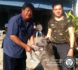 สุนัขไทยหลังอาน ขายสุนัขไทยหลังอาน   ลูกสุนัขไทยหลังอาน IMG_5096_webcamera360_20150123170330