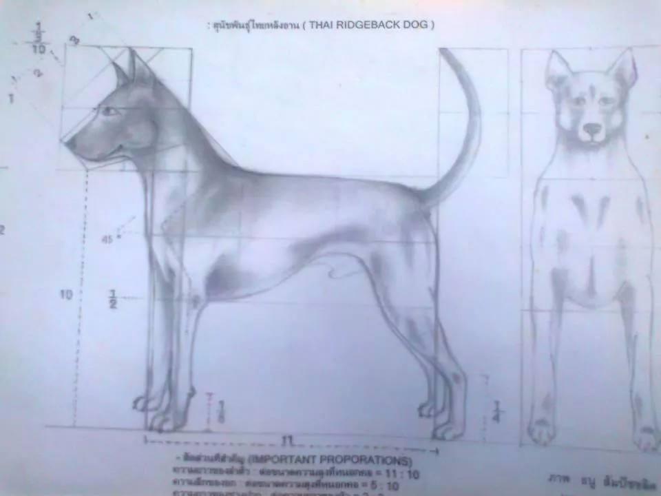 สุนัขไทยหลังอาน ขายสุนัขไทยหลังอาน   ลูกสุนัขไทยหลังอาน10304779_10152289037356431_1949136164271200575_n