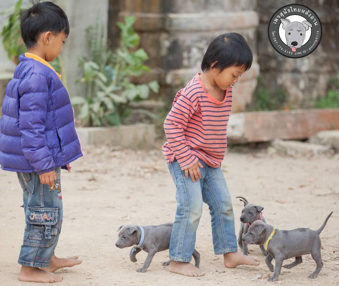 สุนัขไทยหลังอาน ขายสุนัขไทยหลังอาน   ลูกสุนัขไทยหลังอาน158KBเกิน
