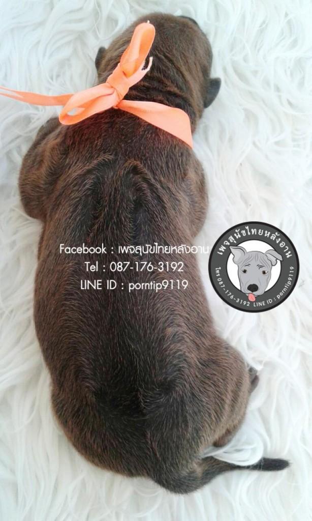 สุนัขไทยหลังอาน ขายสุนัขไทยหลังอาน   ลูกสุนัขไทยหลังอาน1636