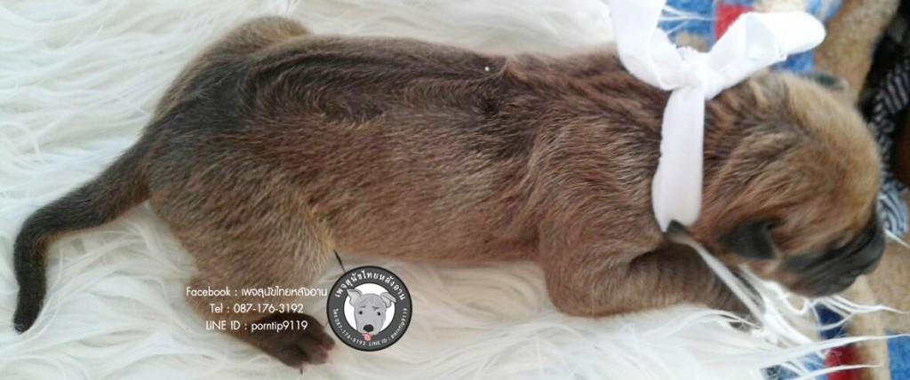 สุนัขไทยหลังอาน ขายสุนัขไทยหลังอาน   ลูกสุนัขไทยหลังอาน1643