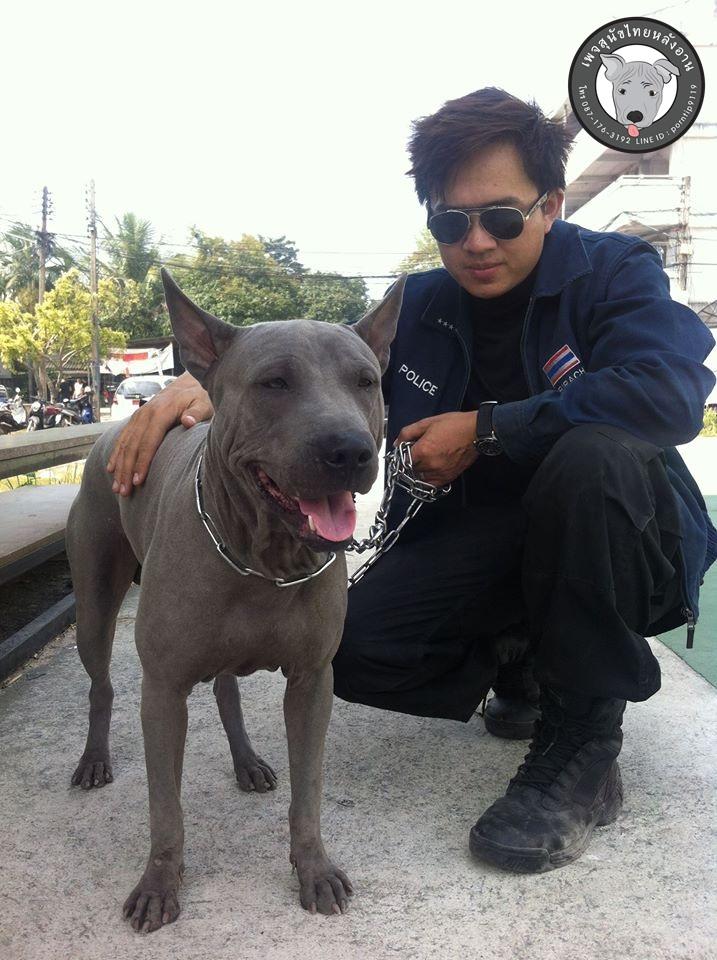 สุนัขไทยหลังอาน ขายสุนัขไทยหลังอาน   ลูกสุนัขไทยหลังอาน1780091_433586963440974_639946748_o