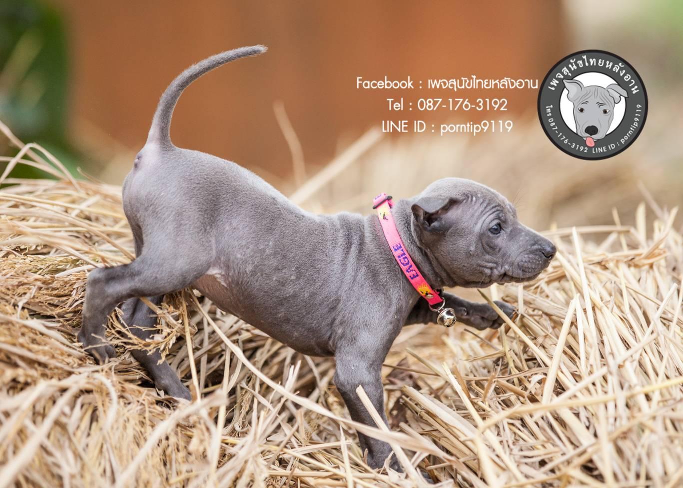 สุนัขไทยหลังอาน ขายสุนัขไทยหลังอาน   ลูกสุนัขไทยหลังอาน180KB