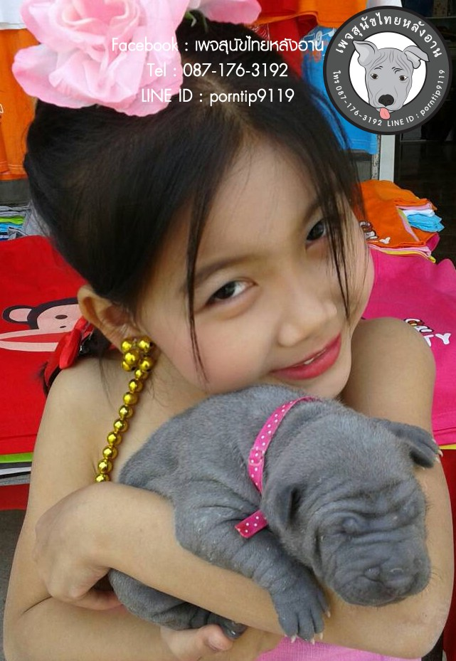 สุนัขไทยหลังอาน ขายสุนัขไทยหลังอาน   ลูกสุนัขไทยหลังอาน2282