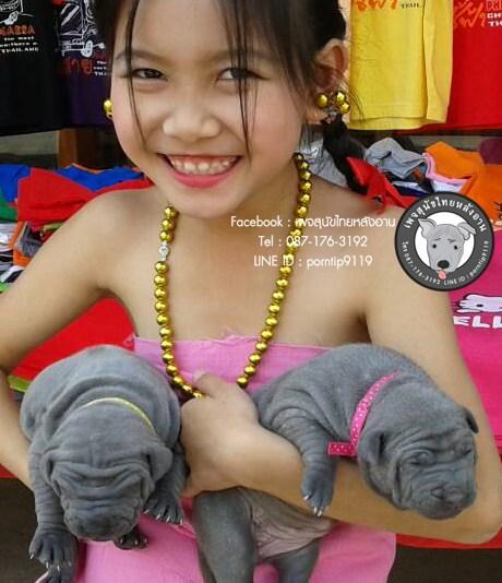 สุนัขไทยหลังอาน ขายสุนัขไทยหลังอาน   ลูกสุนัขไทยหลังอาน2286