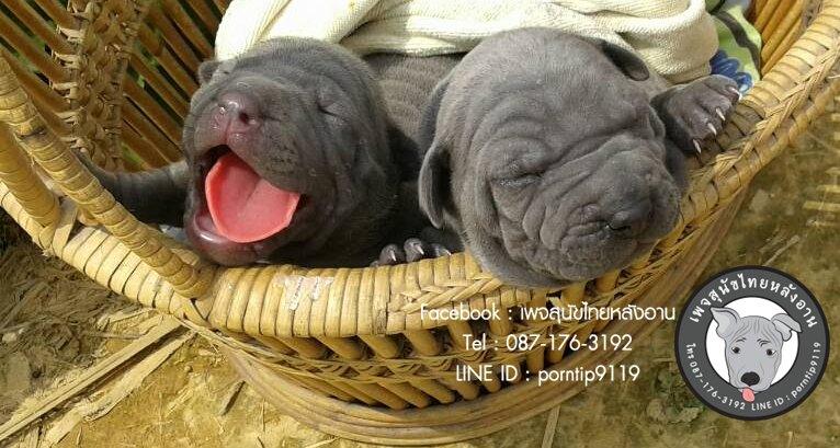 โทร 0871763192,สุนัขไทยหลังอานสายตราด,สุนัขจตุจักร,กรุงเทพฟาร์มสุนัข,ขายสุนัขกรุงเทพ,สุนัขไทยหลังอานกรุงเทพ, เชียงใหม่สุนัข,สุนัขไทยหลังอานเชียงใหม่,TRD,thairidgeback, blue thairidgeback , red thairidgeback , ISABELLA , FEMALE , MALE, Thai ridgeback dog, Ridgeback dog, Primitive, pet, puppy, Thai Dog, Mahthai, Lang ahn,พรทิพย์เชียงรายฟาร์ม, สายเอกลักษณ์,แนะนำสุนัขไทยหลังอาน,ไทยหลังอาน ,ใบเพ็ดดีกรี,ส่งสุนัข,ซื้อหมา,ขายหมา,หมาไทย,หมาไทยหลังอาน,หมาไทยตราด,หมาหลังอานสวย,นิสัยหมาหลังอาน ,วัคซีนสุนัข,แนะนำฟาร์มสุนัข ,ราคาหมาหลังอาน, ราคาถูก, สุนัขไทยหลังอาน , ขายสุนัขไทยหลังอาน , ลูกสุนัขไทยหลังอาน , จำหน่ายสุนัขไทยหลังอาน , ไทยหลังอานราคา , ไทยหลังอานนิสัย , หมาไทยหลังอานแท้ , หมาหลังอานแท้ , หลังอานป้าสมคิด, ป้าสมคิดวัชรัมพร , คอกสุนัขไทยหลังอาน , ฟาร์มสุนัขไทยหลังอาน , หลังอานพรทิพย์ ,พรทิพย์ไทยหลังอาน, สุนัขไทยหลังอานเชียงราย,เชียงรายไทยหลังอาน,ภาคเหนือไทยหลังอาน,ไทยหลังอานภาคเหนือ,แม่สายไทยหลังอาน ,หลังอานแม่สาย, สุนัขไทยหลังอานสีสวาด,สุนัขไทยหลังอานสีแดงเม็ดมะขาม,สีแดงเม็ดมะขาม,สีกลีบบัว,ขนสั้น,ขนกำมะหยี่,อานโบว์ลิ่ง,อานใบโพธิ์,อานเทพพนม,อานเข็ม,อานพิณ,มุมขาสุนัข,เส้นหลัง,ลิ้นดำ,เล็บดำ,ตาดำ,ฟันสุนัข,ขวัญที่อาน,สุนัขเฝ้าบ้าน,สุนัขขนาดกลาง,ฝึกสุนัข,ไทยหลังอานสายตราด,ไทยหลังอานจันทบุรี,ไทยหลังอานไทยแชมป์,ประกวดสุนัขไทยหลังอาน,หาซื้อสุนัขไทยหลังอาน,เชียงใหม่ขายสุนัขไทยหลังอาน,อำเภอเมืองเชียงรายขายสุนัข,สุนัขไทยหลังอานสายเลือดแชมป์,ไทยหลังอานพ่อพันธุ์,ไทยหลังอานแม่พันธุ์,เลี้ยงเล่น,เฝ้าสวน,สุนัขฉลาด,