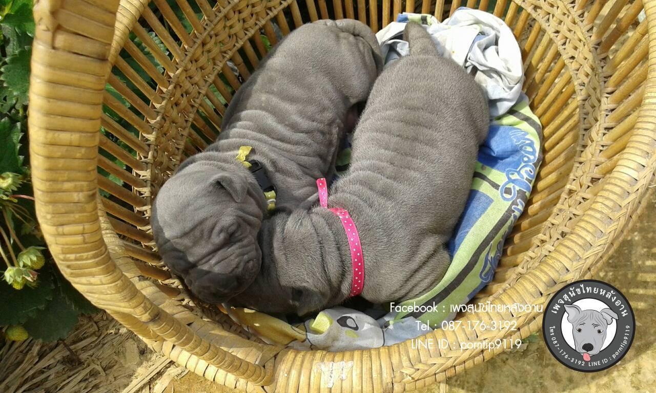 สุนัขไทยหลังอาน ขายสุนัขไทยหลังอาน   ลูกสุนัขไทยหลังอาน2369