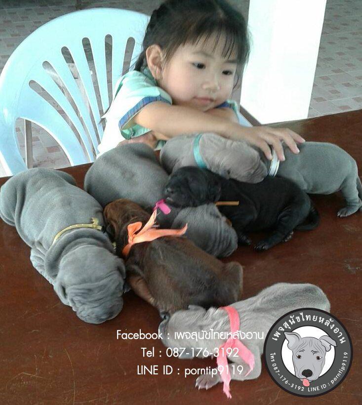 สุนัขไทยหลังอาน ขายสุนัขไทยหลังอาน   ลูกสุนัขไทยหลังอาน2398
