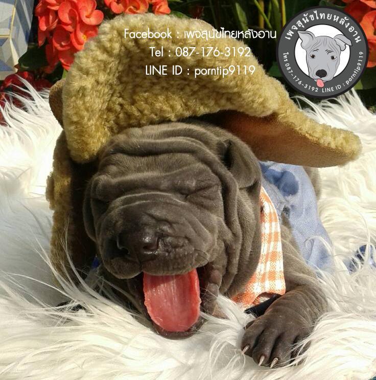 สุนัขไทยหลังอาน ขายสุนัขไทยหลังอาน   ลูกสุนัขไทยหลังอาน2944
