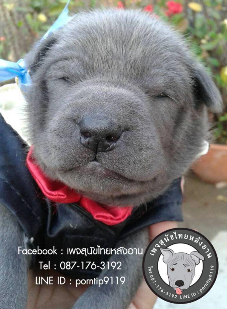 สุนัขไทยหลังอาน ขายสุนัขไทยหลังอาน   ลูกสุนัขไทยหลังอาน4485