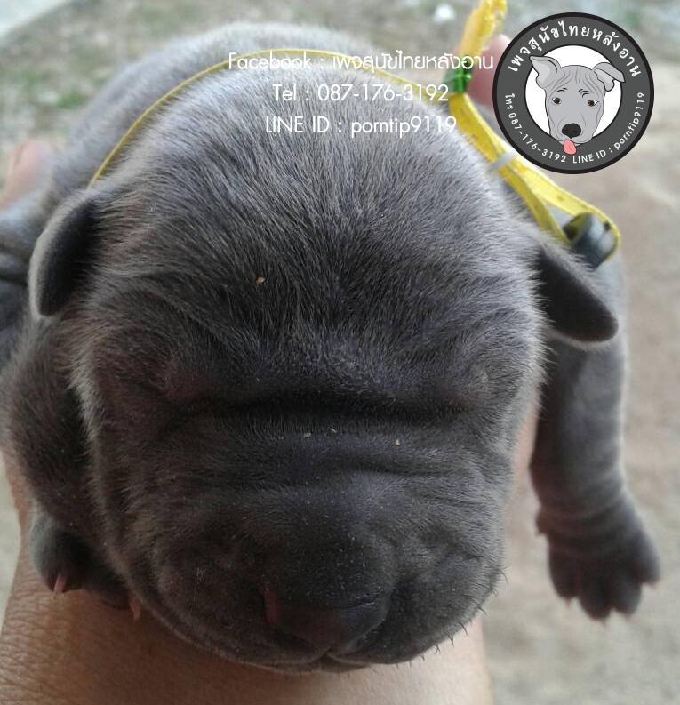 สุนัขไทยหลังอาน ขายสุนัขไทยหลังอาน   ลูกสุนัขไทยหลังอาน643