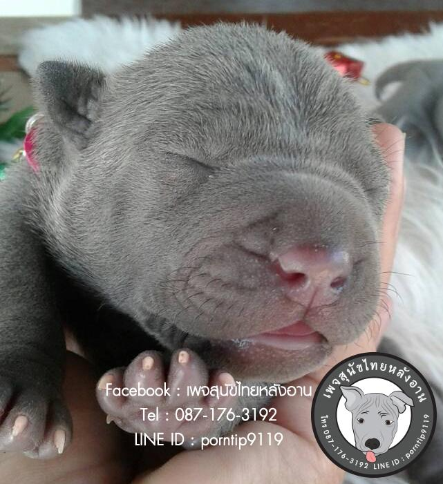 สุนัขไทยหลังอาน ขายสุนัขไทยหลังอาน   ลูกสุนัขไทยหลังอาน918