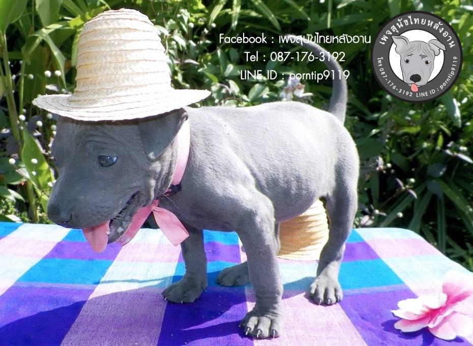 สุนัขไทยหลังอาน ขายสุนัขไทยหลังอาน   ลูกสุนัขไทยหลังอานIMG_4210