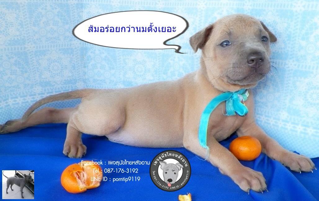 ข้อดีของสุนัขไทยหลังอาน