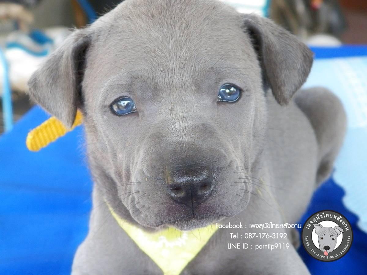 สุนัขไทยหลังอาน ขายสุนัขไทยหลังอาน   ลูกสุนัขไทยหลังอานIMG_4220