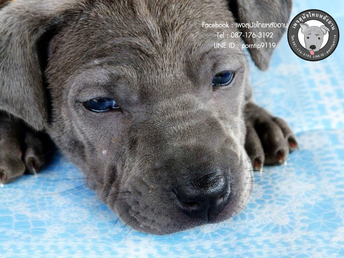สุนัขไทยหลังอาน ขายสุนัขไทยหลังอาน   ลูกสุนัขไทยหลังอานIMG_4221