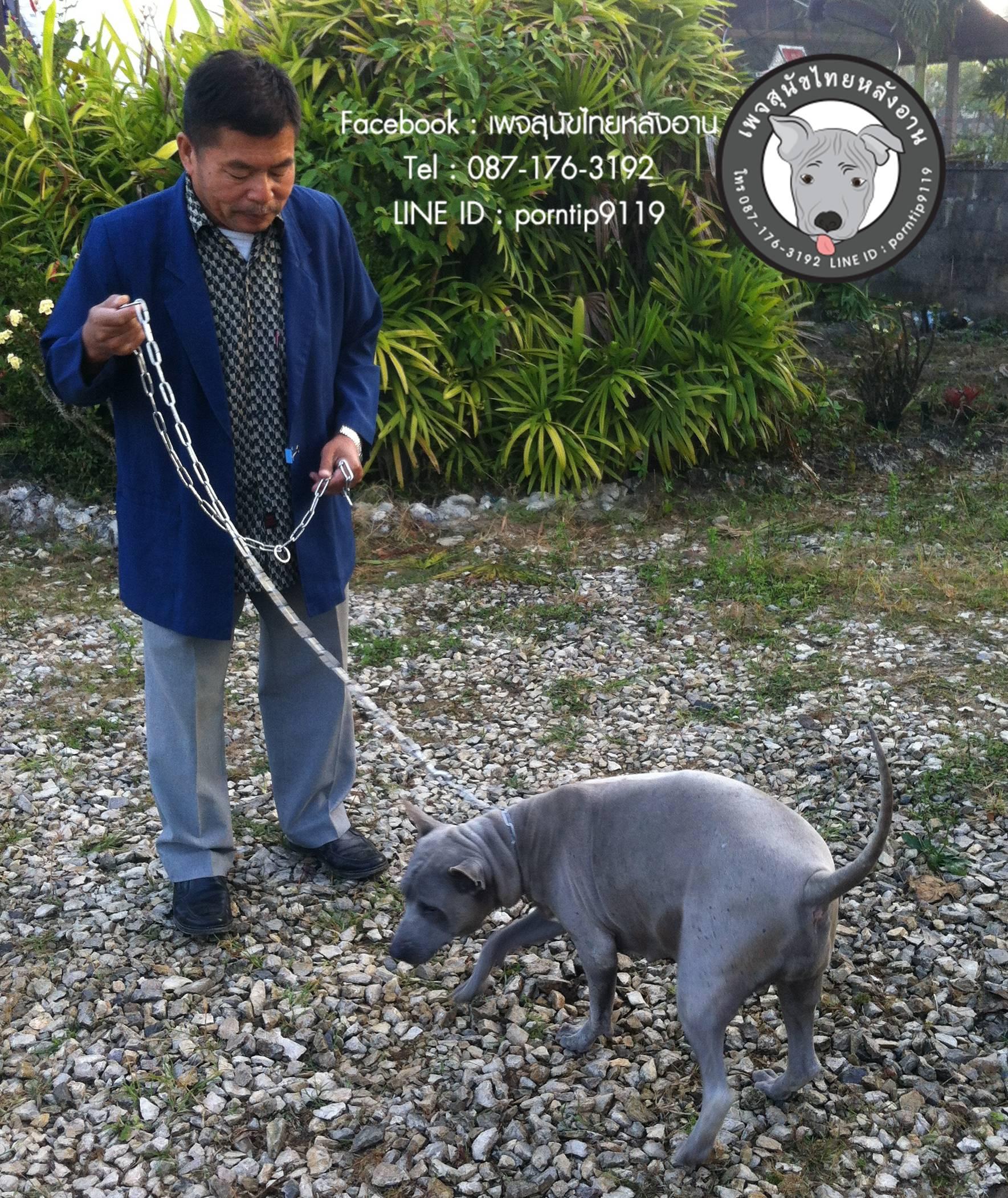 สุนัขไทยหลังอาน ขายสุนัขไทยหลังอาน   ลูกสุนัขไทยหลังอานIMG_5270