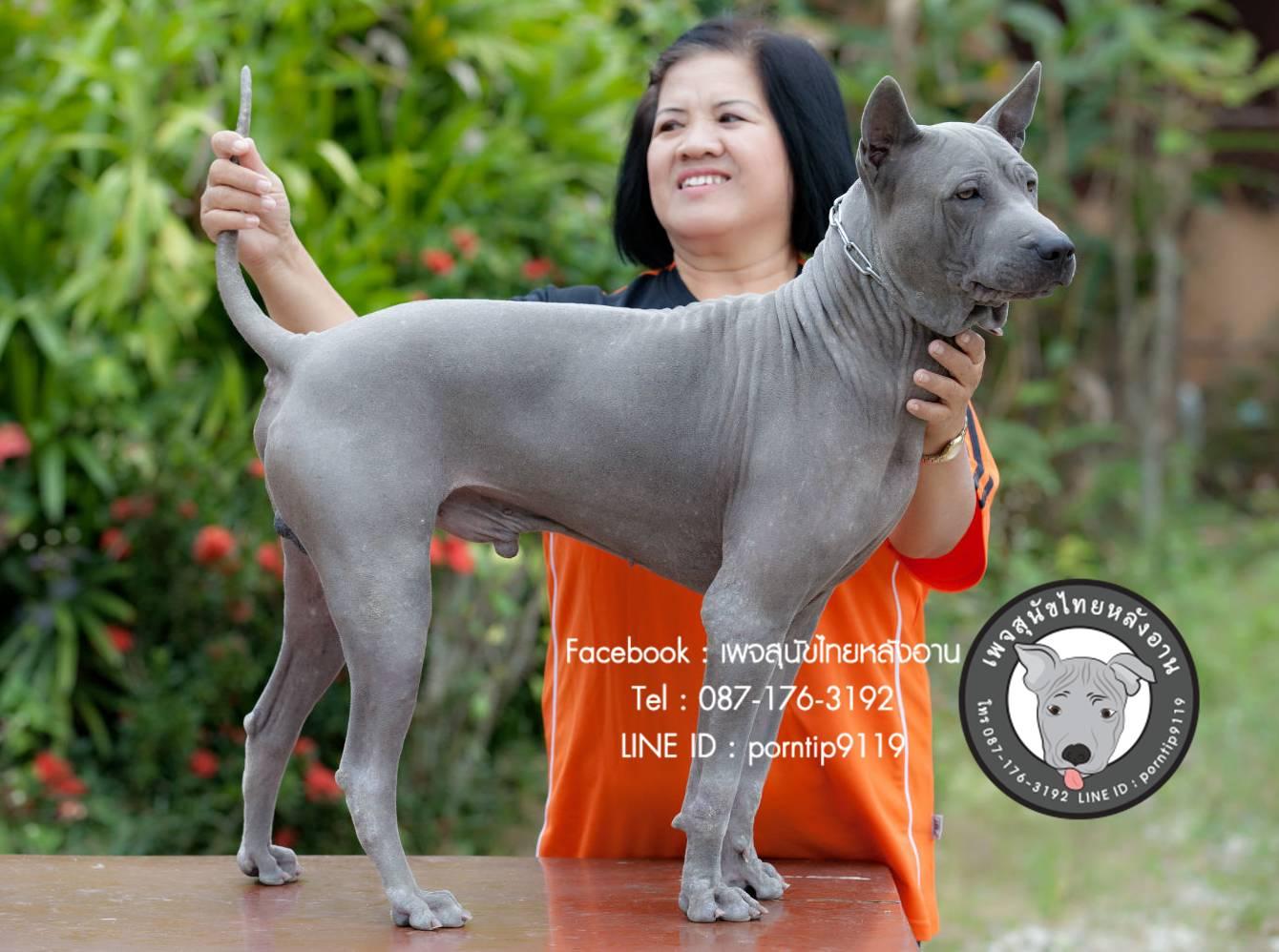 สุนัขไทยหลังอาน